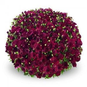 Sentier produzione giovani piante di ciclamino viole - Crisantemi in vaso ...