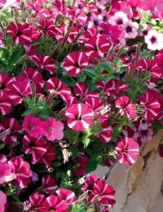Sentier produzione giovani piante di ciclamino viole for Petunie perenni