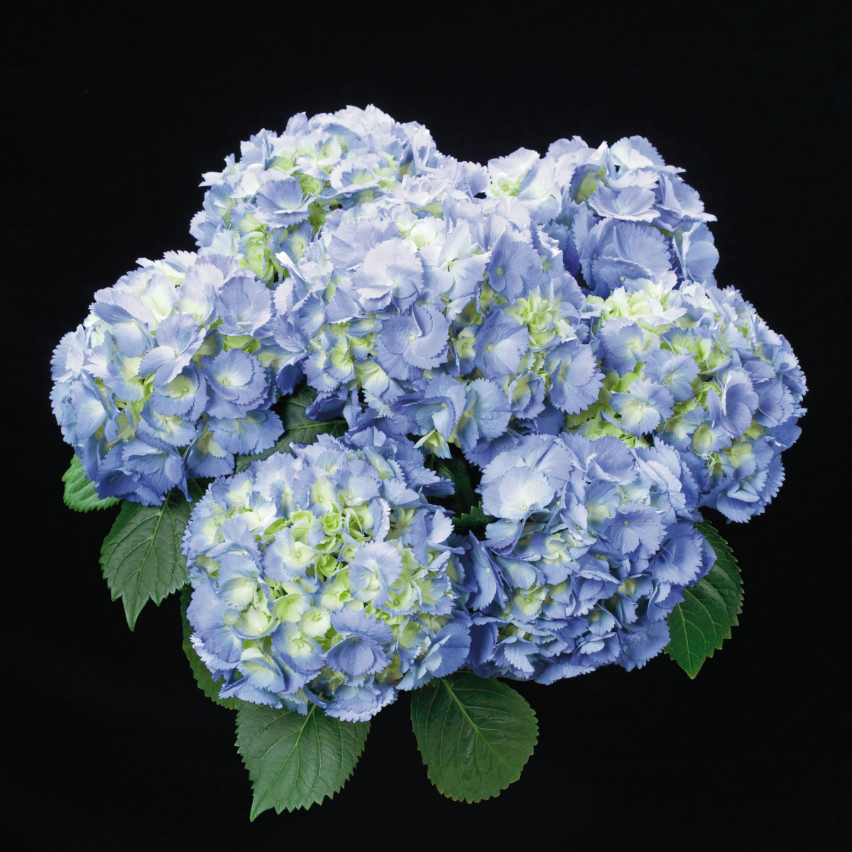 Sentier produzione giovani piante di ciclamino viole for Colore ortensia
